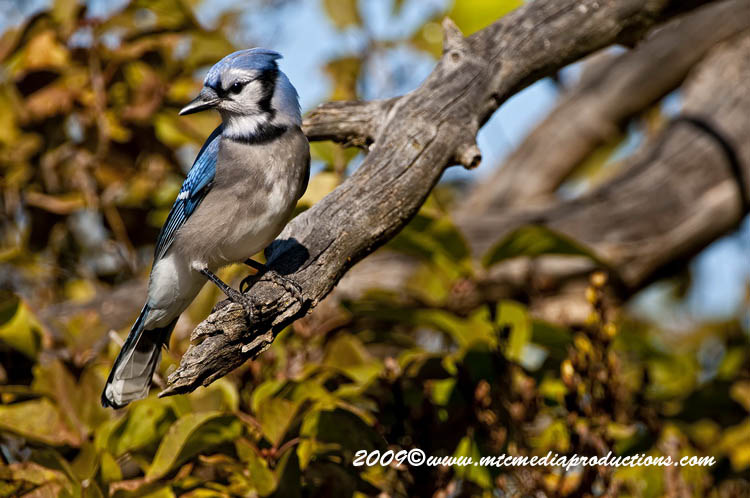 Blue Jay Picture-133