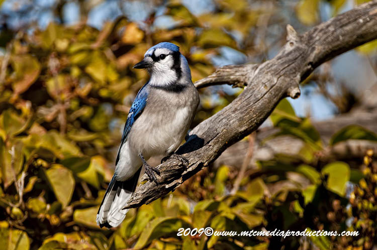 Blue Jay Picture-135
