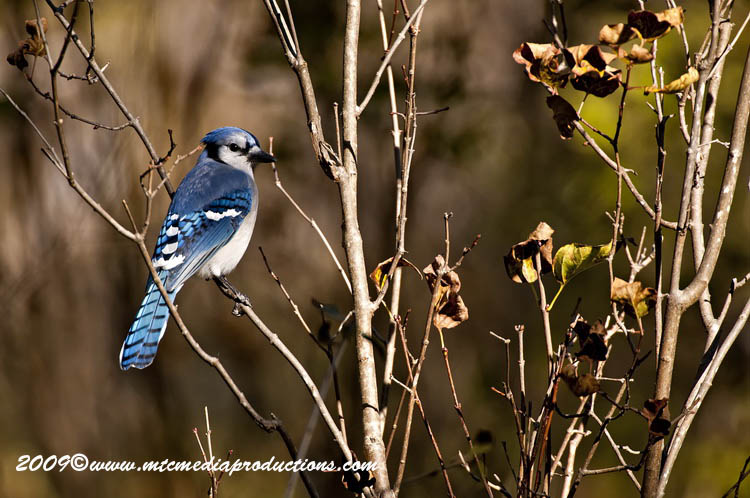 Blue Jay Picture-136