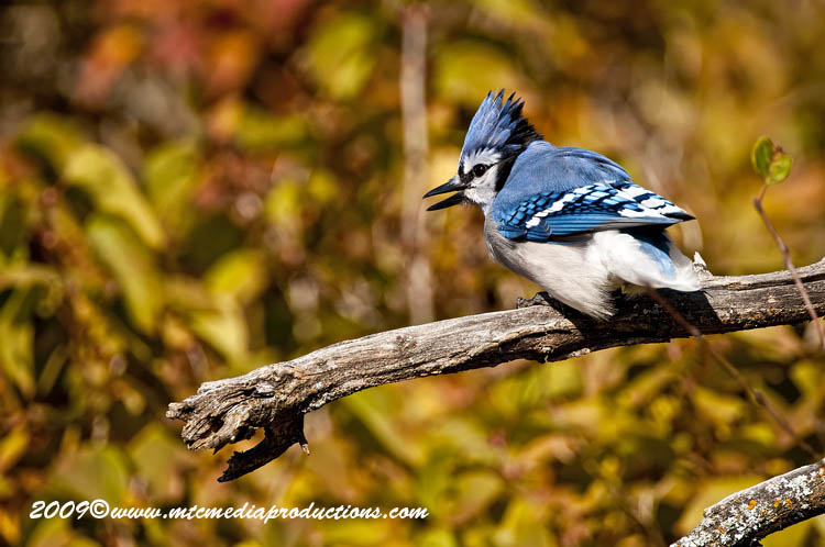 Blue Jay Picture-137