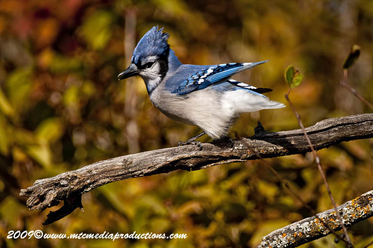 Blue Jay Picture-138