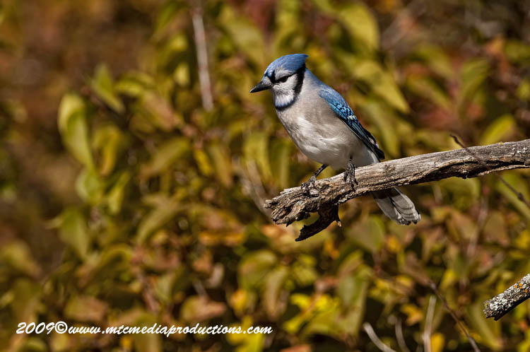 Blue Jay Picture-139