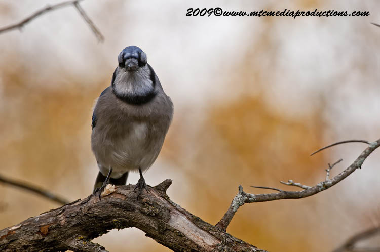 Blue Jay Picture-140