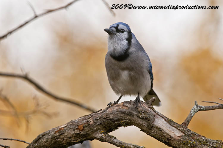 Blue Jay Picture-141