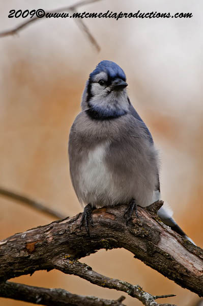 Blue Jay Picture-142