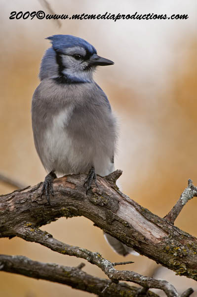 Blue Jay Picture-143