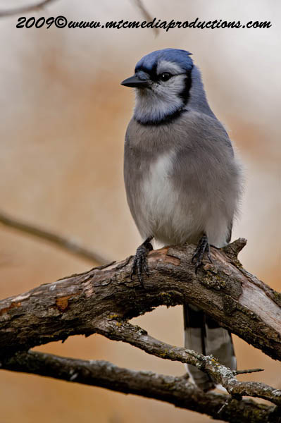 Blue Jay Picture-144