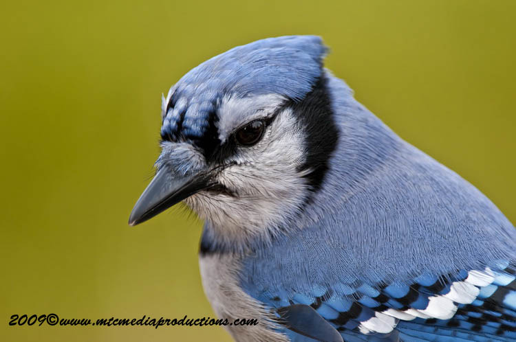 Blue Jay Picture-145