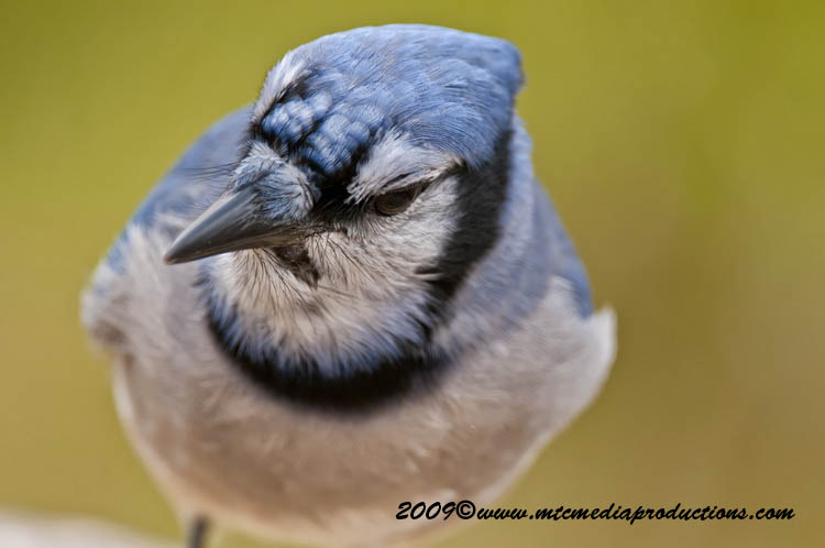 Blue Jay Picture-146