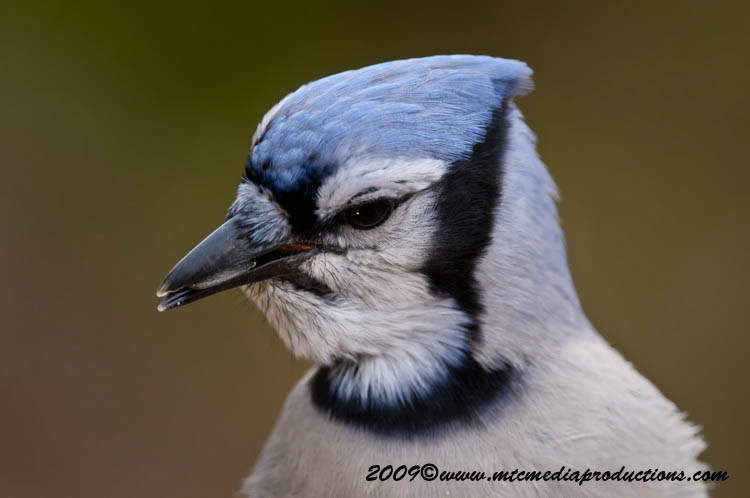 Blue Jay Picture-147