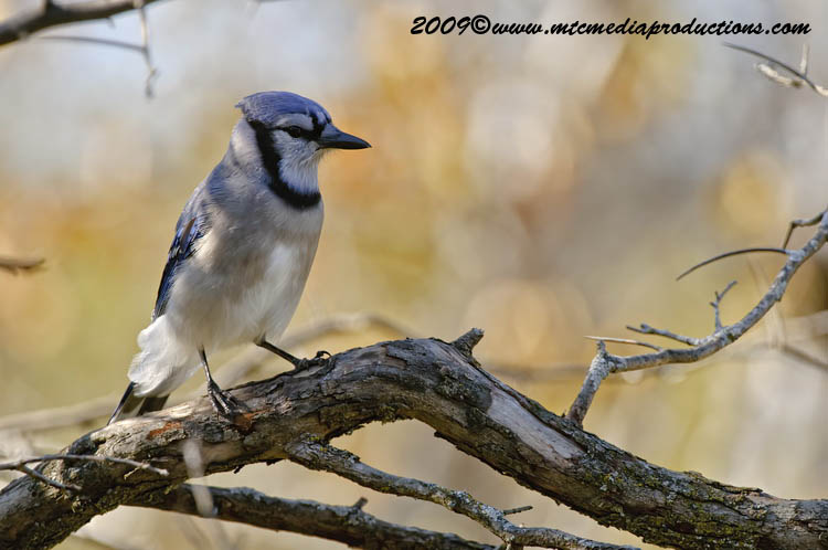 Blue Jay Picture-148