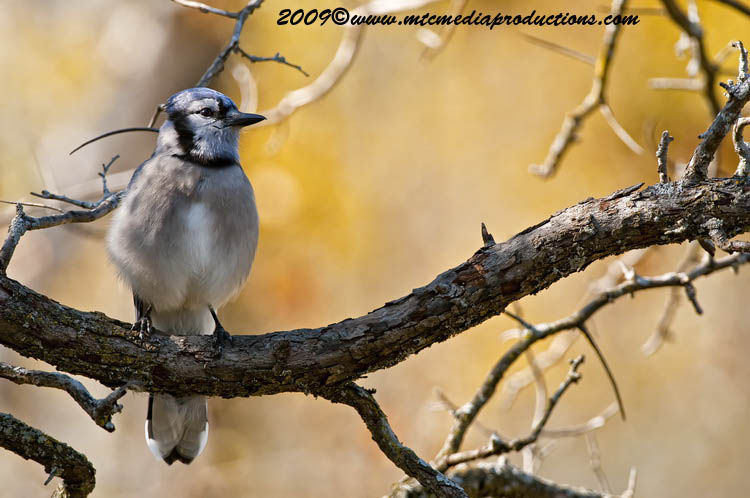 Blue Jay Picture-149