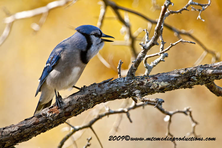 Blue Jay Picture-150