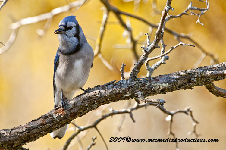 Blue Jay Picture-151