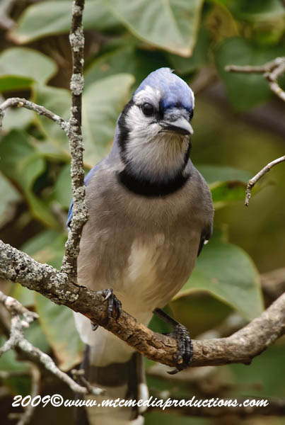 Blue Jay Picture-153