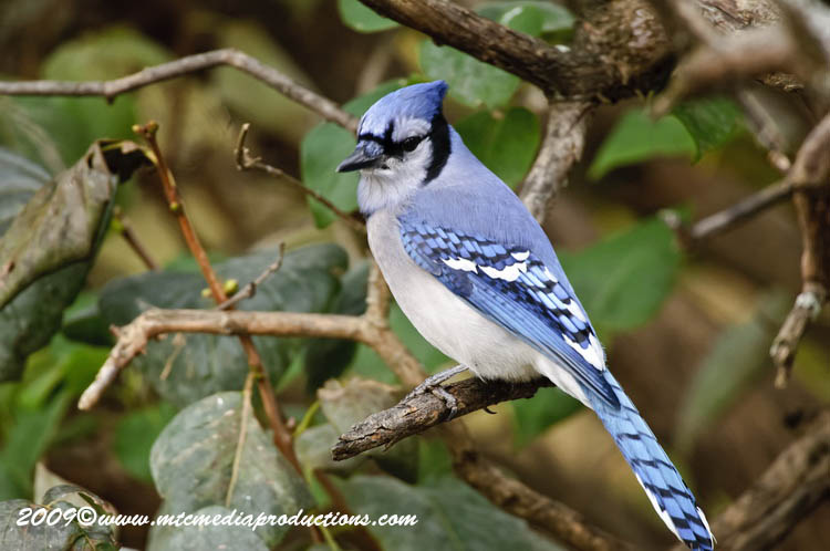 Blue Jay Picture-154