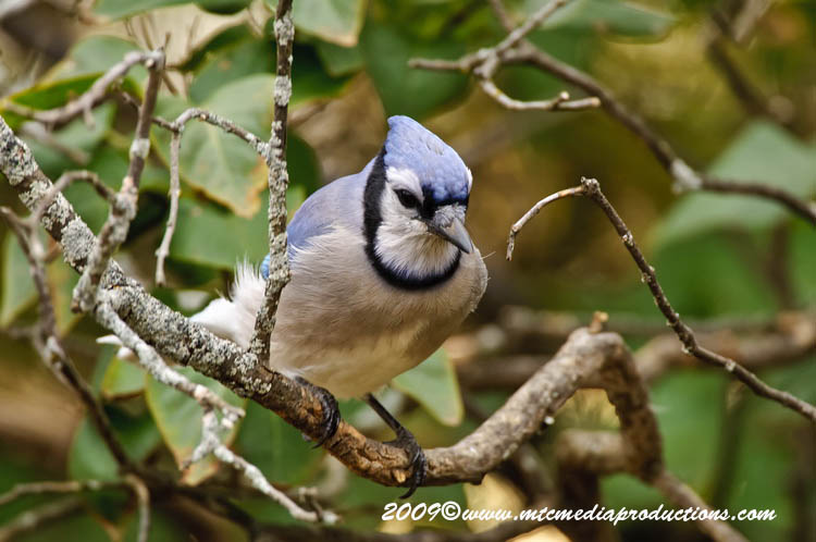 Blue Jay Picture-155