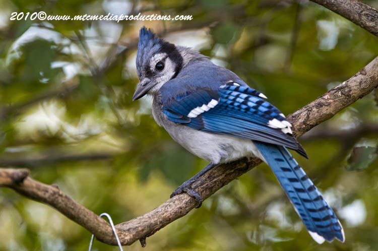 Blue Jay Picture-258