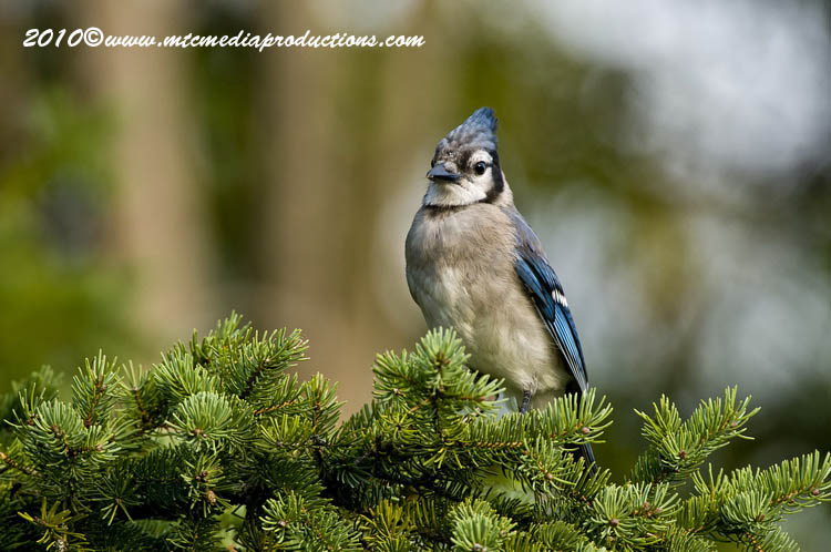 Blue Jay Picture-260
