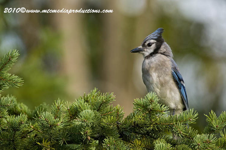 Blue Jay Picture-261