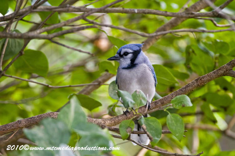Blue Jay Picture-262