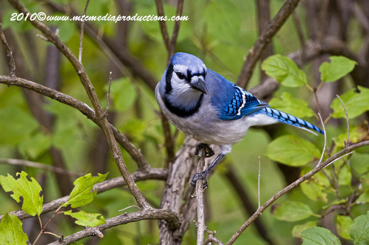 Blue Jay Picture-263