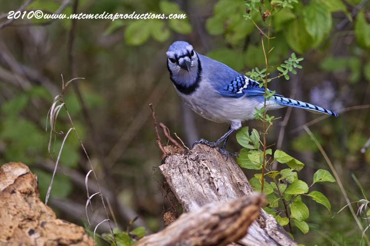 Blue Jay Picture-264