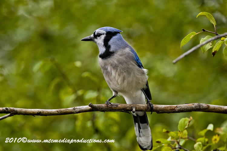 Blue Jay Picture-267