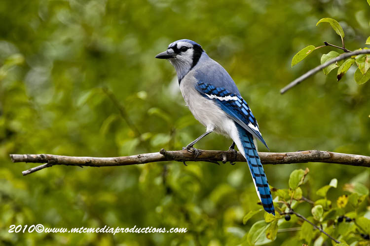 Blue Jay Picture-268