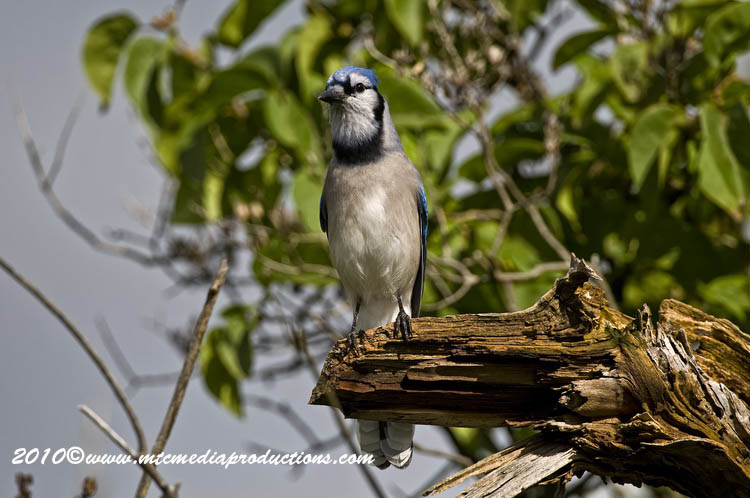 Blue Jay Picture-269