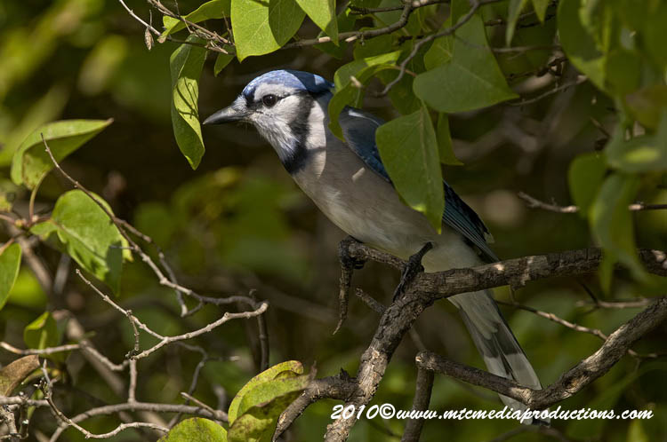 Blue Jay Picture-270
