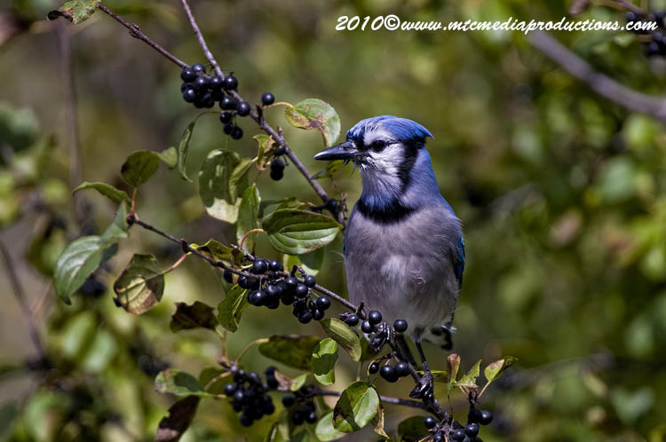 Blue Jay Picture-271