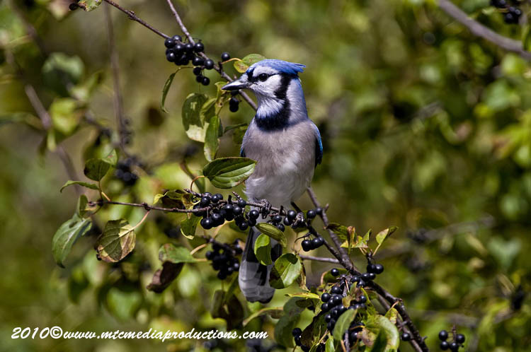 Blue Jay Picture-273