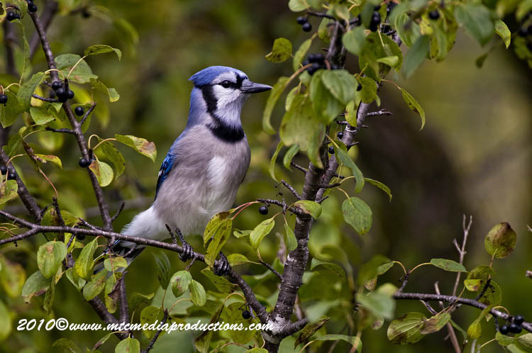 Blue Jay Picture-274