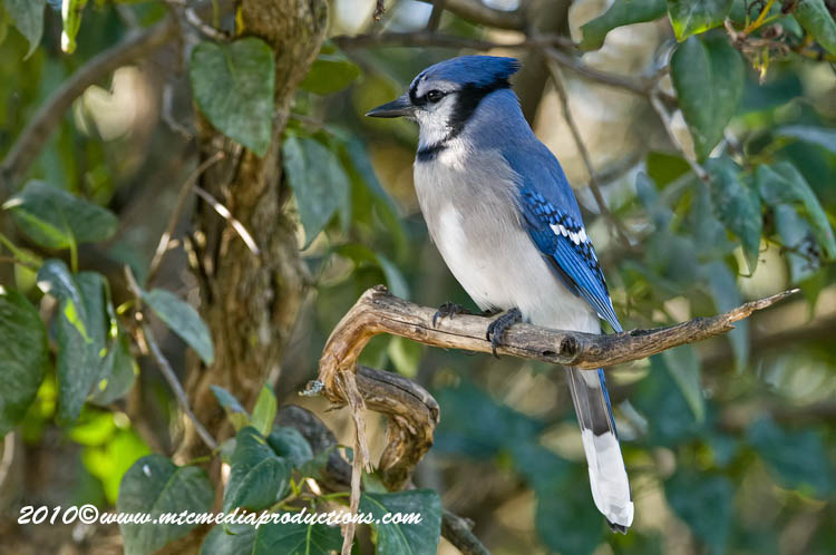 Blue Jay Picture-275