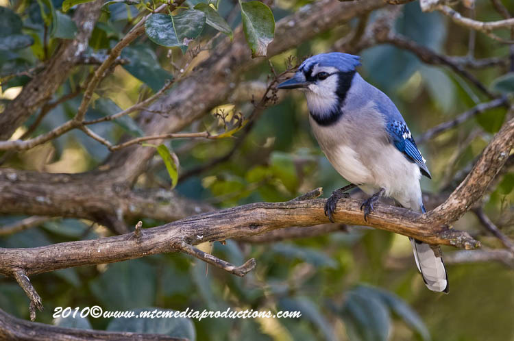 Blue Jay Picture-276