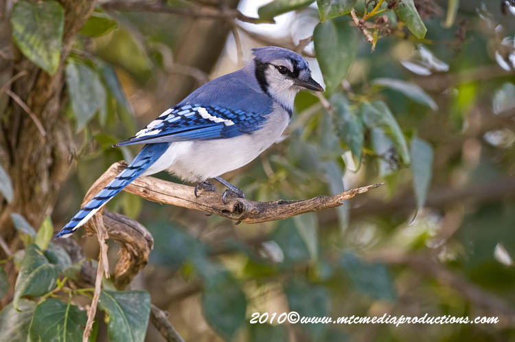 Blue Jay Picture-277