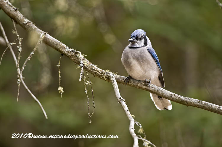 Blue Jay Picture-280