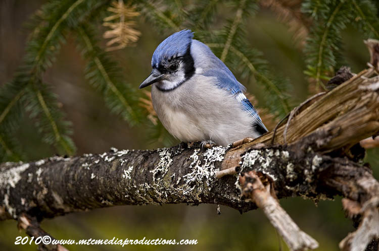 Blue Jay Picture-281