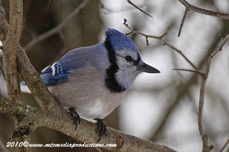 Blue Jay Picture-282