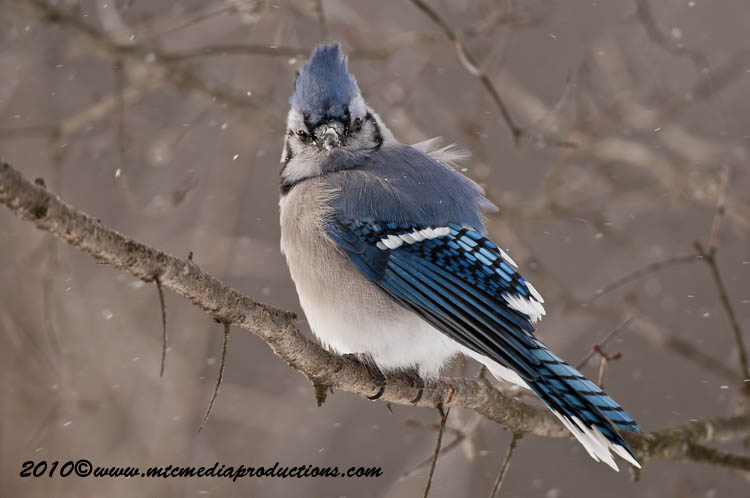 Blue Jay Picture-283