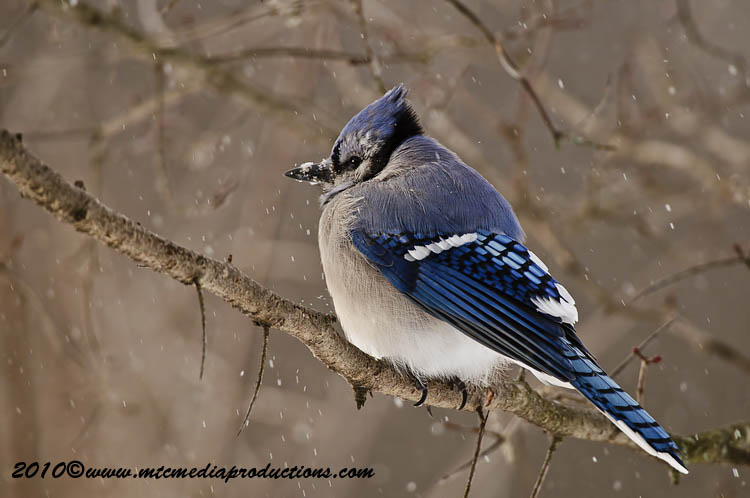 Blue Jay Picture-284