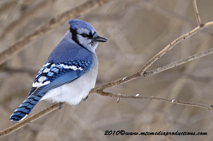 Blue Jay Picture-286