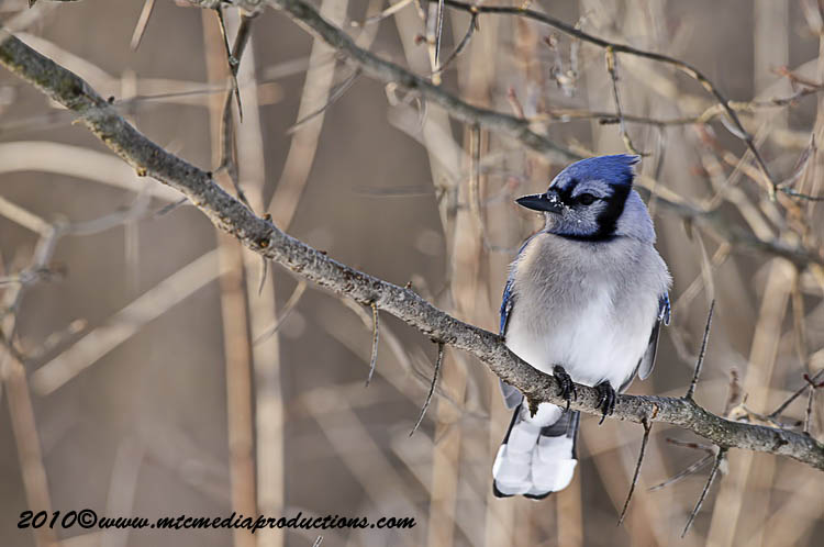 Blue Jay Picture-287