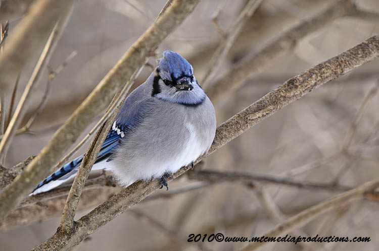 Blue Jay Picture-288