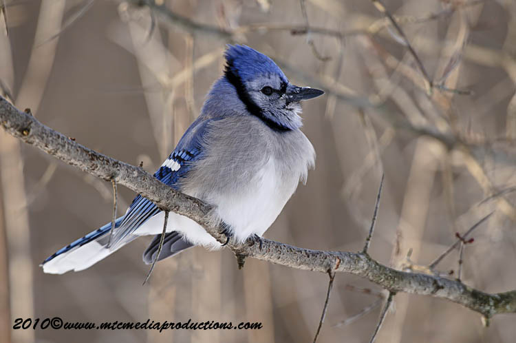 Blue Jay Picture-289