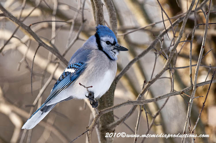 Blue Jay Picture-290