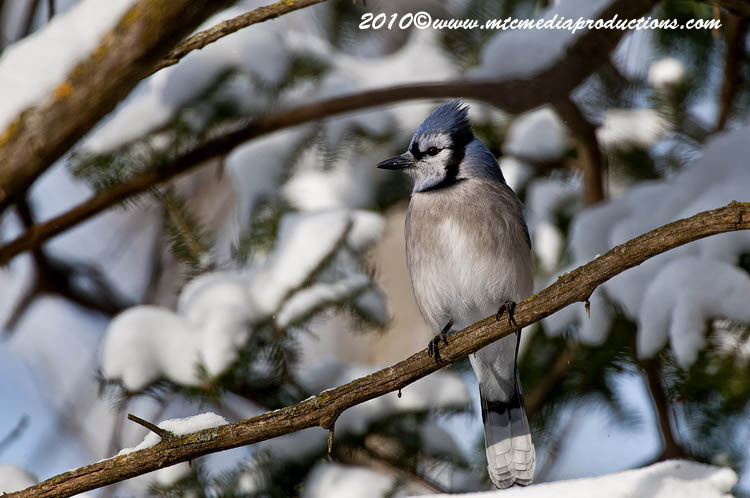 Blue Jay Picture-291