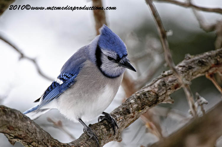 Blue Jay Picture-293