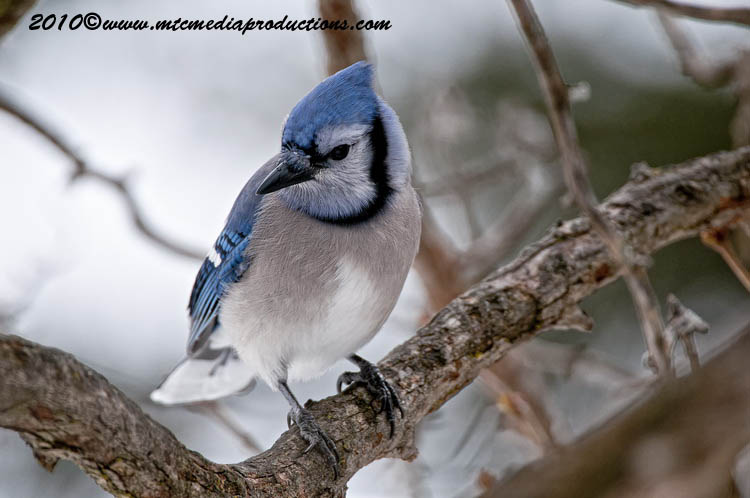 Blue Jay Picture-294